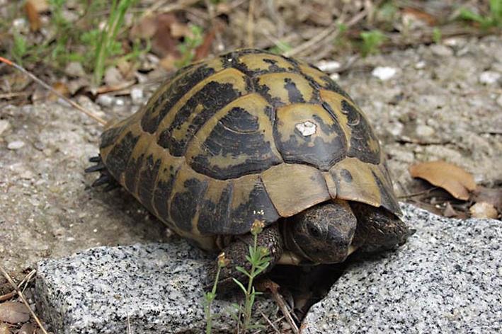 Черепаха Варвара