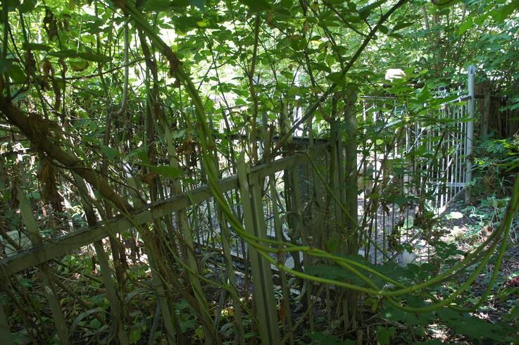 Надгробия не видны под лианами. Фото: Шимон Бриман.
