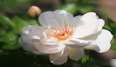 Роза, носящая имя Жаклин Дю Пре. Фото: Wikipedia / T.Kiya