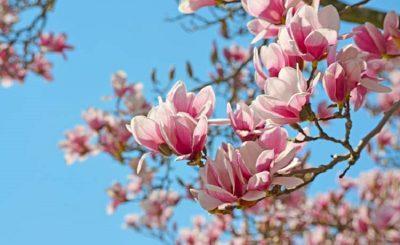 magnolia-big66ffffffffffffff